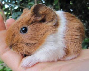 Handling Guinea Pig